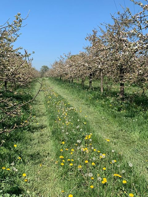 Apple trees are blossoming!